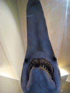 Goblin shark - Wikipedia