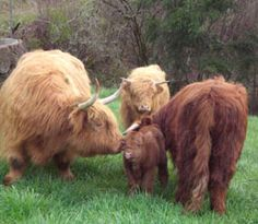 "Scottish Highland Cattle ♥ These hearty cattle are the ""miniatures"" of the bovine world. They are wonderful milk producers, friendly and provide good meat. They are also perfect for the small farm as they grow no taller than 4 ft."