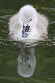 Cygnet reflecting? | Flickr - Photo Sharing!