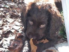 Boykin Spaniel Puppy- those eyes were the thing I loved the most about Perci when we first met her. Such a beautiful amber color.