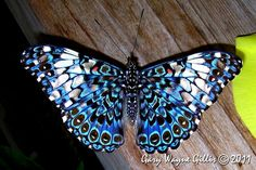 Blue red cracker butterfly