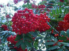 Jarząb pospolity, jarzębina » Drzewa i krzewy
