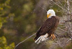 Bald Eagle, Northwest Wyoming