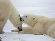 """""""Sisterly Secrets"""" by Lori Martin: We spent a long while watching these two polar bears playing, tumbling, cuddling. Our guides thought they might be two sisters who had been weaned earlier in the year. When they became bored with their own play, both walked over to the Rovers to observe us."""