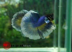 YOUNG TRI-BANDED #2 Halfmoon male betta - 1604014
