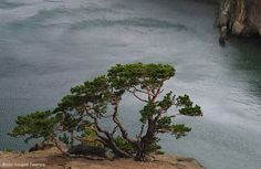 "Bonsai inspiration ""old pine tree"""