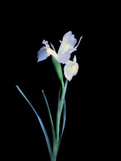Iris Blanco (10 tallos) $200  Estos Precios están sujetos a cambios y disponibilidad del Producto.