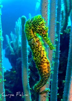 yellow and green seahorse