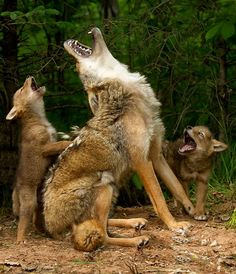 Baby coyotes learning how to howl