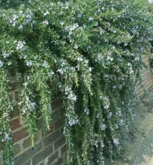 Plant Pictures: A Large image of Rosmarinus officinalis - 'Jackmans Prostrate' (Prostrate Rosemary) Backyard Play Spaces, Backyard Playhouse, Backyard Games, Outdoor Spaces, Winter Plants, Winter Garden, Rosemary Plant, Plant Pictures, Garden Planters