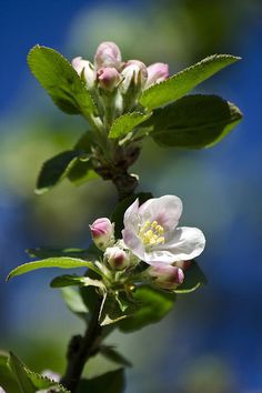 Apple Blossom by Christina Rollo. Macro photograph apple blossoms in spring. Crabapple trees are native to the Northern Hemisphere, in Europe, Asia and North America. Raw apples are extremely sour and not an important crop in most areas. These trees are beneficial to wildlife and support a great deal of activity from insects pollinating flowers, birds feeding on insects or nesting, and mammals feeding on their fruit.  SHOP MY COMPLETE COLLECTION AT: www.rollosphotos.com