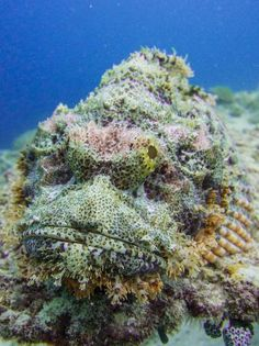 Scorpion Fish // Spotted in: Gili Islands // The grumpy cat of the marine world, here's another type of scorpion fish. We saw one of these off the cost of Gili Air, which was also where this pic was taken. Beneath The Sea, Under The Sea, Lombok, Gili Air, Gili Island, Water Animals, Grumpy Cat, Scorpion, Marine Life