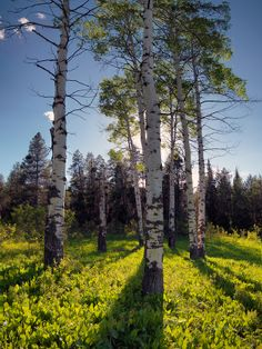 Idaho, east, Aspen forest in evening light in the Caribou Mountains