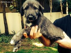 Classified Ads: Irish Wolfhound puppies for sale