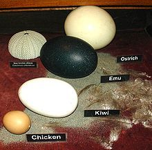 Compare the sizes of Eggs of: ostrich, emu, kiwi and chicken. Egg ...