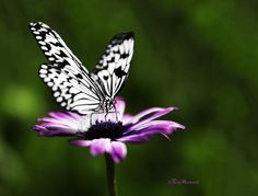 A butterfly and a daisy by Riccardo Martinelli on 500px