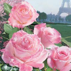 v1242.jpg  April in Paris