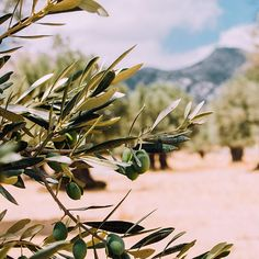 Olive oil is awesome for your skin. Which is why our soaps contain only the highest quality extra virgin olive olive oil from vineyards like this. 👌 #DareToRebel