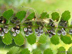 Spin,Sporen onder een Varenblad