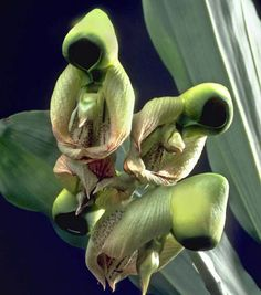Orchid that looks like praying monks