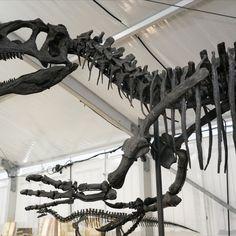 A little over one year ago, we were in #Arizona at the #Tucson Gem, Mineral & #Fossil Showcase. Some of the #dinosaur highlights included Allosaurus, Majungasaurus, Torosaurus, spinosaur (cervical vertebra), Bambiraptor, Daspletosaurus (femur), Stegosaurus, and more! #iknowdino #dinosaurs Cervical Vertebrae, Tucson, Dinosaurs, Fossil, Minerals, Arizona, Highlights, Gems, Instagram