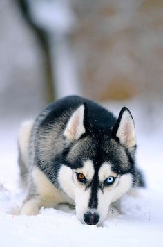 Siberian Husky. Love the eyes, they add so much to the already existing beauty of a husky :)
