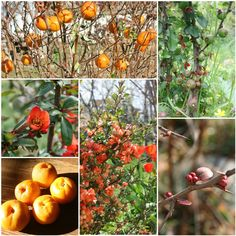 We have planted a fair bit of Japanese Quince - Chaenomeles speciosa in our gardens over the years, all of them grown successfully from seed...