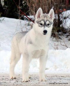 This pic is sooooooooo cute :))) #cute #akita #dog