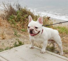 French Bulldog at the Beach. Bulldog Images, French Bulldog Pictures, French Bulldog Puppies, French Bulldogs, Dogs And Puppies, Little Pets, Cute Baby Animals, Best Dogs, Dog Cat