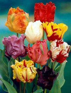 Solve Barevné tulipány jigsaw puzzle online with 48 pieces Bulb Flowers, Tulips Flowers, Exotic Flowers, Daffodils, Beautiful Flowers, Tulips Garden, Parrot Tulips, Planting Flowers, Spring Bulbs