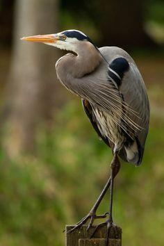 Sea Birds, Wild Birds, Pretty Birds, Beautiful Birds, Wildlife Photography, Animal Photography, Heron Tattoo, Blue Heron, Bird Pictures