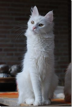 596fb3031f The Turkish Angora is a breed of domestic cat. Turkish Angoras are one of  the ancient