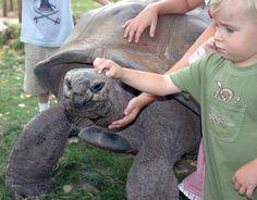 Aldabra giant tortoise | Aldabra Giant Tortoise