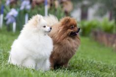 What's better than ONE pomeranian?   TWO Pomeranians!!!