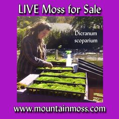 At Mountain Moss, we really appreciate getting orders from repeat customers. Megan meticulously preening and prepping Dicranum scoparium (shade moss species) for a landscaper in Brooklyn, NY. This time, she's ordering our beautiful Dicranum for her own moss garden. Moss For Sale, Moss Garden, Repeat, Brooklyn, Prepping, Landscaping, Mountain, Gardening, Inspiration