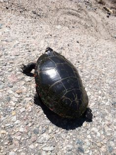 Turtle travels