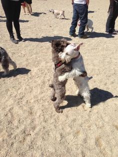 This is a classic schnauzer move. Mine does it with any other schnauzer he meets. Animals And Pets, Baby Animals, Funny Animals, Cute Animals, Chien Fox Terrier, Fox Terriers, Cute Puppies, Cute Dogs, Dogs And Puppies
