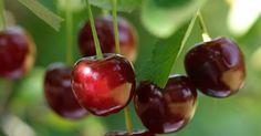 Tahukan Anda buah kersen atau talok memiliki 'sejuta' manfaat!