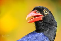 Taiwan Blue Magpie Portrait by Sue Hsu - Photo 132015243 - 500px