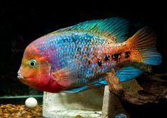Colors like these, for my fish tattoo! Melanurus Quetzal (Vieja Synspila) (Redhead Cichlid)