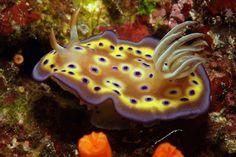 Amazingly colorful nudibranch at Palau, Micronesia
