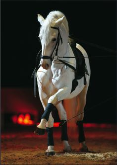 A young Spanish Riding School Stallion performing