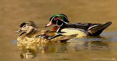 https://flic.kr/p/9sRB1w   Wood Duck couple   Nature's Photo Adventures 2010