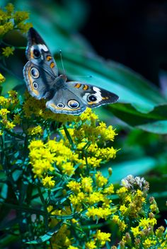 Buckeye by Gorham Miscall.. #Butterfly #Insect