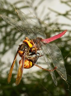 This Asian Giant Hornet (Vespa soror, Vespidae) had taken the easy option and taken a Pink Skimmer dragonfly (Orthetrum pruinosum) ensnared in the web of a Jorō Spider (Nephila clavata). Suspended from the web, the hornet was unceremoniously dismembering and devouring it's stolen meal.  Pu'er, Yunnan, China
