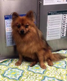 Fonz is an adoptable Pomeranian searching for a forever family near Danbury, CT. Use Petfinder to find adoptable pets in your area.
