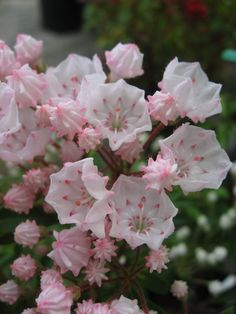 Elf Mountain Laurel Shrubs for Sale Online Kalmia latifolia Elf, aka Dwarf Mountain Laurel, flowers in May and are light pink with white overtones and pink center. The leaves of Elf Mountain Laurel Shrubs are long, narrow, deep evergreen. Trees And Shrubs, Flowering Trees, Laurel Flower, Laurel Plant, Kalmia Latifolia, Shrubs For Sale