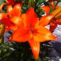 Bright orange lilies - love the shine