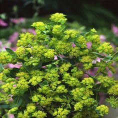 Griffitti Bupleurum is well known in the cut flower industry.  Order Griffitti bupleurum seeds from Harris Seeds.