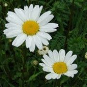 Bat friendly plant. Click image to learn more & add to your own plants list. Leucanthemum vulgare, Ox-eye daisy, White weed, White daisy, Marguerite, White goldes, Moon penny, Maudlinwort, Midsummer daisy, Love-me-not, Large white gowan, Espibawn, Herb Margaret, White goldes, Sheriff pink, Love-me, Field daisy, May queen, Leucanthemum vulgare 'Maikönigin', Ox eye daisy, Oxeye daisy L. vulgare is a perennial with dark green foliage and small white daisy-like flowers in spring.